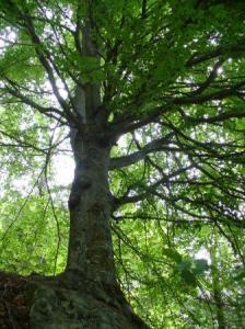 Faggio, foresta umbra